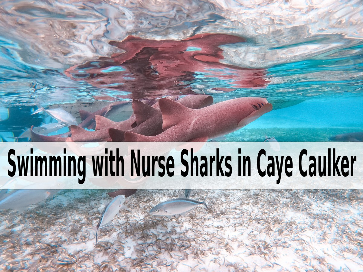 Swimming with Nurse Sharks in Caye Caulker